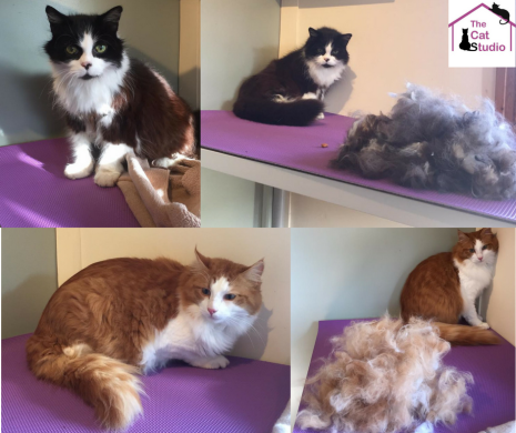Fluffy Catsbecome happy cats@ The Cat studio.png